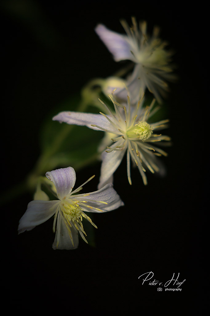 Clematis V small